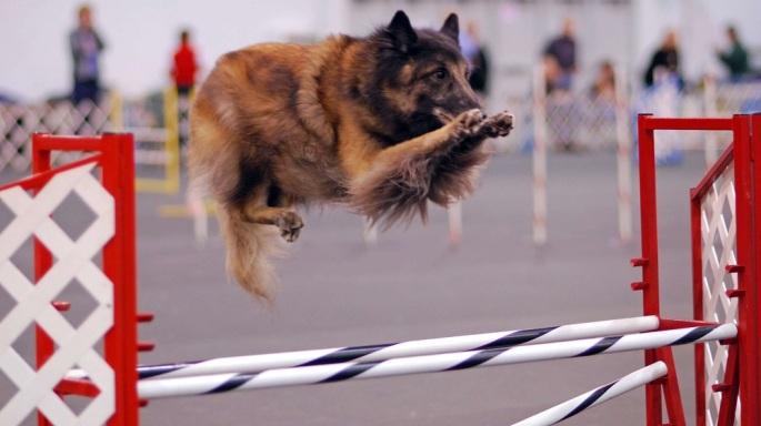 Cachorro-praticando-Agility_fellipevasconcellos